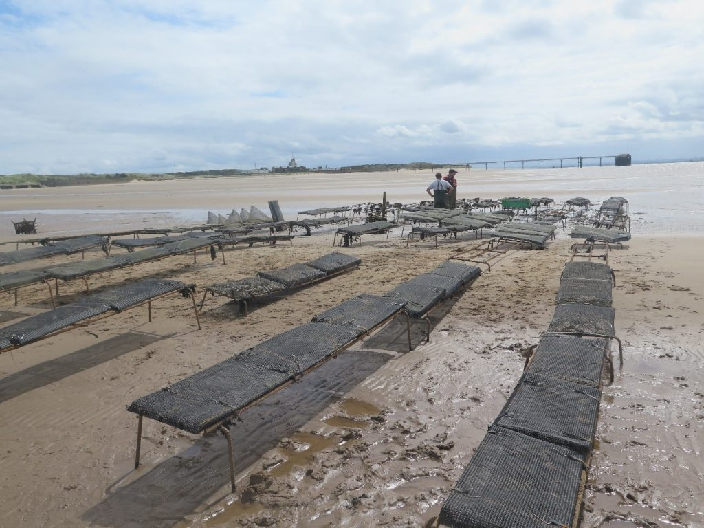 A series of trestle tables with black oyster bags on the shores of Spurn