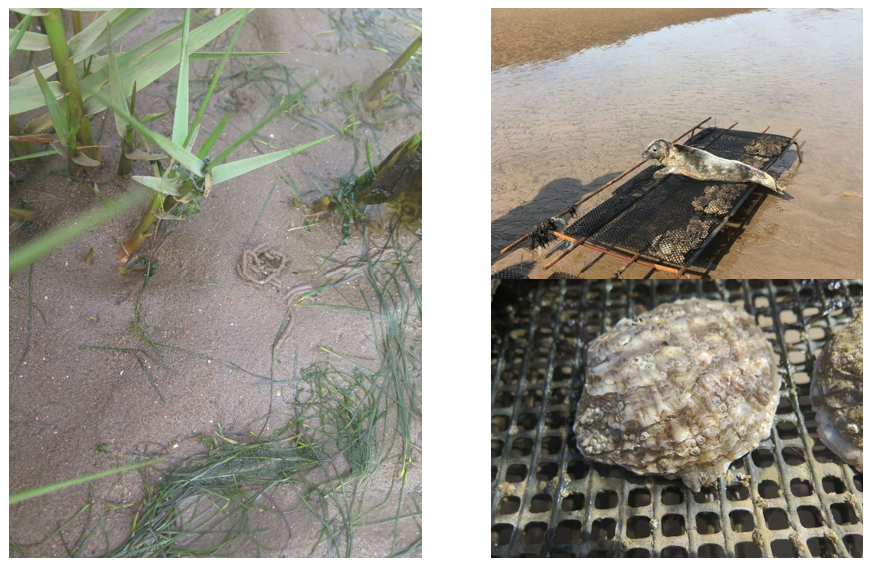 A composite image showing a close-up of seagrass, and an oyster and a visiting seal laid on an oyster trestle