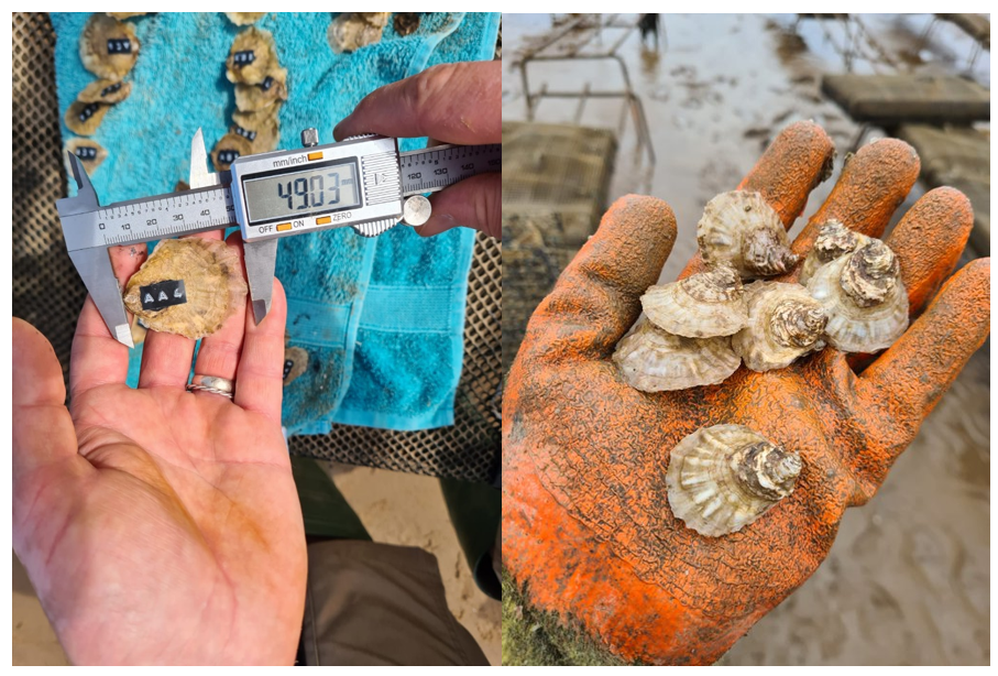 Image s of two year old oysters being measured for growth